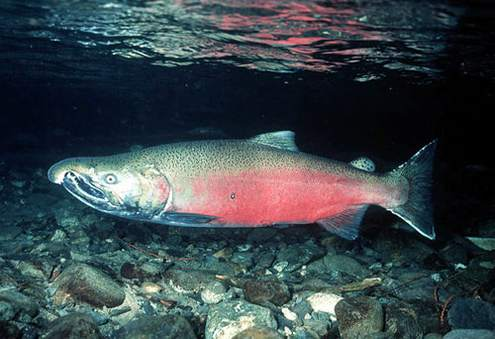 king salmon hindu personals Summer king salmon fishing shifts into high gear tomorrow, when the 30-inch maximum size limit ends in the san juan islands in the past few weeks, anglers in the san juan islands (area 7) have been catching and releasing a fair number of kings over 30 inches.